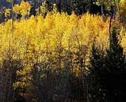 Margaret  Slaugh - Yellow Aspens