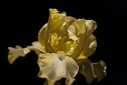 Yellow Bearded Iris Photos - Yellow Bearded Iris at Night by Christopher McPhail
