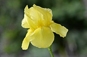 Yellow Bearded Iris Photos - Yellow Bearded Iris by Jlt Photography