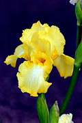 Yellow Bearded Iris Posters - Yellow Bearded Iris Poster by Kathy  White
