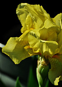 Washtub Posters - Yellow Bearded Iris Poster by Rebecca Sherman