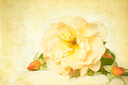 Orange Rosebud Posters - Yellow Beauty Poster by Dolly Genannt