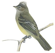 Horizontal Drawings Posters - Yellow bellied elaenia  Poster by Anonymous