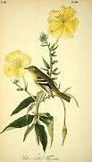 Flora Drawings Prints - Yellow-bellied Flycatcher Print by John James Audubon