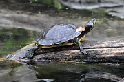 Yellow Slider Posters - Yellow Bellied Slider Basking Poster by  Joe Ravi