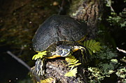 Yellow Slider Posters - Yellow Bellied Slider Turtle Poster by Jodi Terracina