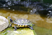 Yellow Slider Posters - Yellow Bellied Slider Turtle Poster by Rod Johnson