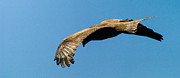 Yellow Beak Photos - Yellow billed Kite 3 by Alistair Lyne