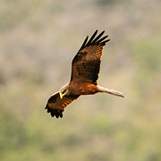 Yellow Beak Photos - Yellow billed Kite 5 by Alistair Lyne