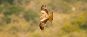 Yellow Beak Photos - Yellow billed Kite 7 by Alistair Lyne