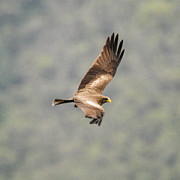 Yellow Beak Photos - Yellow billed Kite 8 by Alistair Lyne