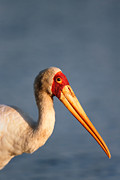 Yellow-billed Stork Portrait Print by Johan Swanepoel