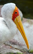 Yellow Billed Stork Print by Richard Bryce and Family