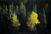 Jakub Sisak - Yellow Birch