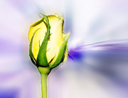 Yellow Rosebud Photos - Yellow Bud by Frank Bright
