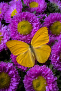 Wings Photos - Yellow butterfly and pink flowers by Garry Gay