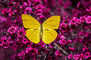 Flora Prints - Yellow butterfly Print by Garry Gay