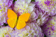 Butterfly Photo Prints - Yellow butterfly on dahlias Print by Garry Gay