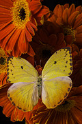 Garry Gay - Yellow Butterfly On...