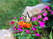 Y Wing Framed Prints - Yellow Butterfly on Orange Zinnia Framed Print by Kerry Gergen