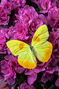 Tranquil Posters - Yellow butterfly on pink Azalea Poster by Garry Gay