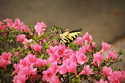 David Schoenheit - Yellow Butterfly on Pink...