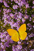 Insects Posters - Yellow butterfly on pink flowers Poster by Garry Gay
