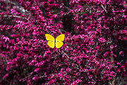 Reds Prints - Yellow butterfly on red flowered bush Print by Garry Gay