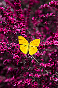 Insects Posters - Yellow butterfly on red flowering bush Poster by Garry Gay