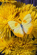 Chrysanthemums  Posters - Yellow butterfly on yellow mums Poster by Garry Gay