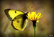 Shamik Tobin - Yellow Butterfly