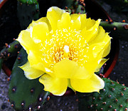 Bunting Originals - Yellow Cactus Flower by Laszlo Slezak