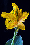 Canna Metal Prints - Yellow Canna Flower Metal Print by Garry Gay