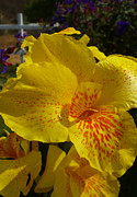 Canna Prints - Yellow Canna Lily in El Tizate  II Print by Nicki Bennett