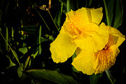 Donald Chen Metal Prints - Yellow Canna Singapore Flower Metal Print by Donald Chen