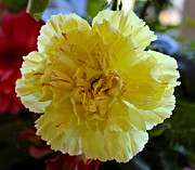 Yellow Carnation Delight Print by Kurt Van Wagner