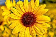 Flowers Photos - Yellow by Cat Connor