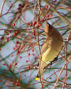 Smilin Eyes  Treasures - Yellow Cedar Waxwing Bird