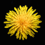 Blooming Digital Art - Yellow Chrysanthemum by Nadine and Bob Johnston
