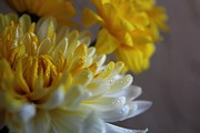 Lynn Jordan - Yellow Chrysanthemum