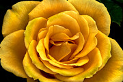 Rose Photography Posters - Yellow Close-Up Poster by Robert Bales