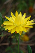 Napa Valley Photos - Yellow Cone Flower 1 by Amy Fose