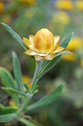 Napa Valley Photos - Yellow Cone Flower 2 by Amy Fose
