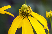 Yellow Cone Flower Rudbeckia Print by Rich Franco