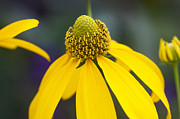 Yellow Coneflower Rudbeckia Print by Rich Franco