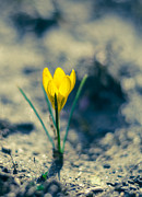 Crocus Framed Prints - Yellow crocus Framed Print by Lyubomir Kanelov
