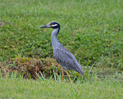 Ruth Housley Metal Prints - Yellow Crown Night Heron Metal Print by Ruth  Housley