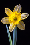 Fresh Posters - Yellow Daffodil Poster by Garry Gay