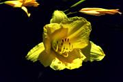 Yellow Daffodil Print by John Stuart Webbstock