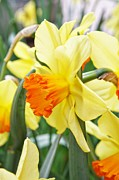Cathie Tyler - Yellow Daffodils